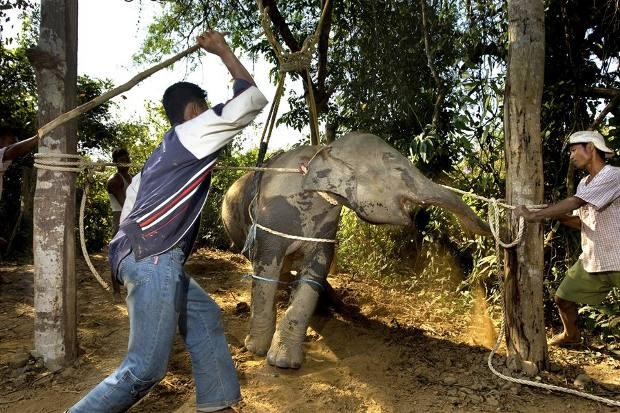 Elefantes Myanmar blanco negro