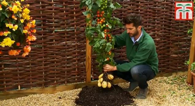 La planta que produce tomates y patatas al mismo tiempo