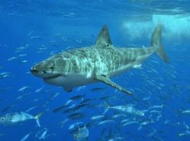 300 tiburones se conectan a Twitter en Australia para avisar de su presencia