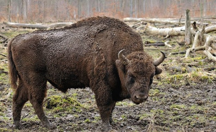 Dónde ver bisonte libertad