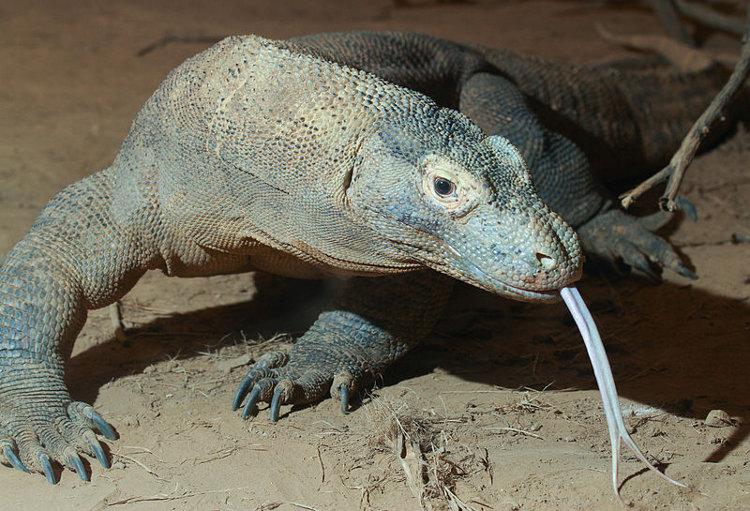 En busca de los dragones de Komodo