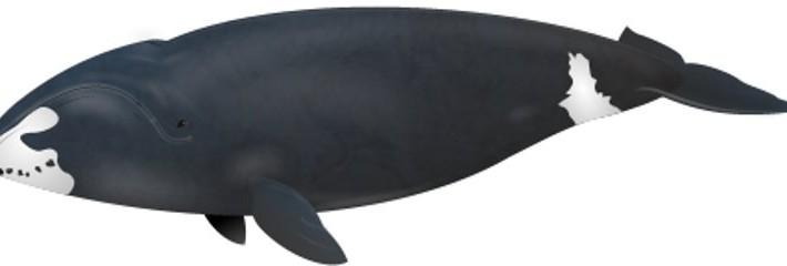 Descubren ballenas que alcanzan los doscientos anos de edad