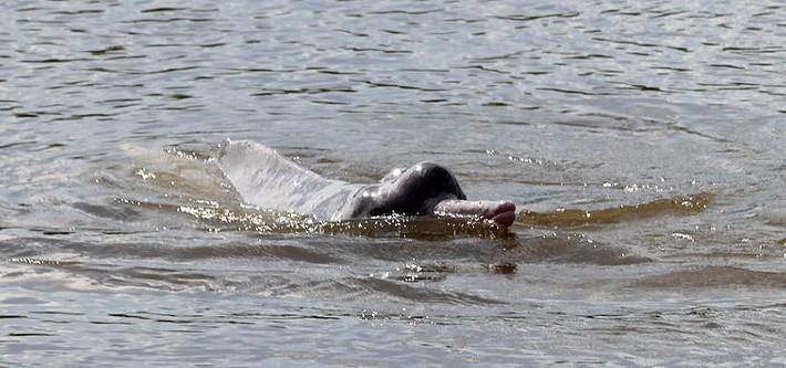 Descubre nueva especie delfin rio Sudamerica 2