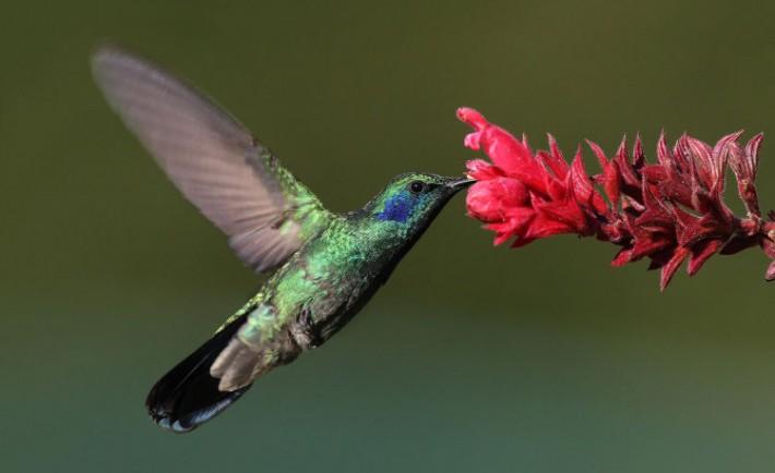 Por que colibri gusta sabor dulce otras aves no