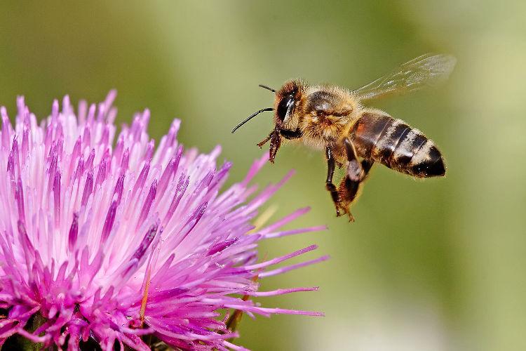 Las abejas se hacen adictas a la nicotina