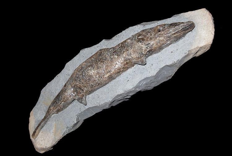 Encuentran el primer corazón fosilizado en un animal prehistórico