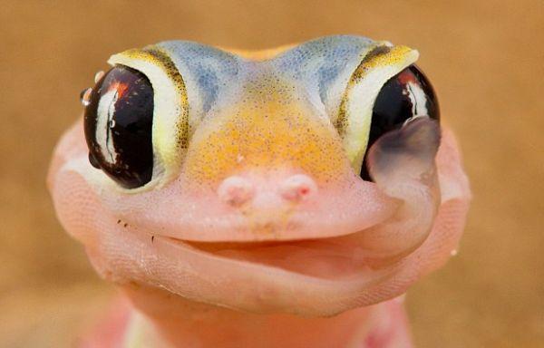 La asombrosa foto del gekko bebiendo
